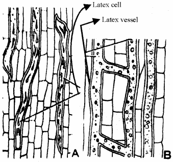 RBSE Solutions for Class 11 Biology Chapter 13 Plant Tissue Internal Morphology and Anatomy