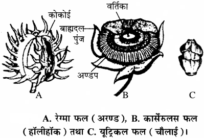 RBSE Solutions for Class 11 Biology Chapter 22 फल तथा बीज
