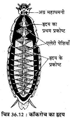 RBSE Solutions for Class 11 Biology Chapter 36 तिलचट्टा