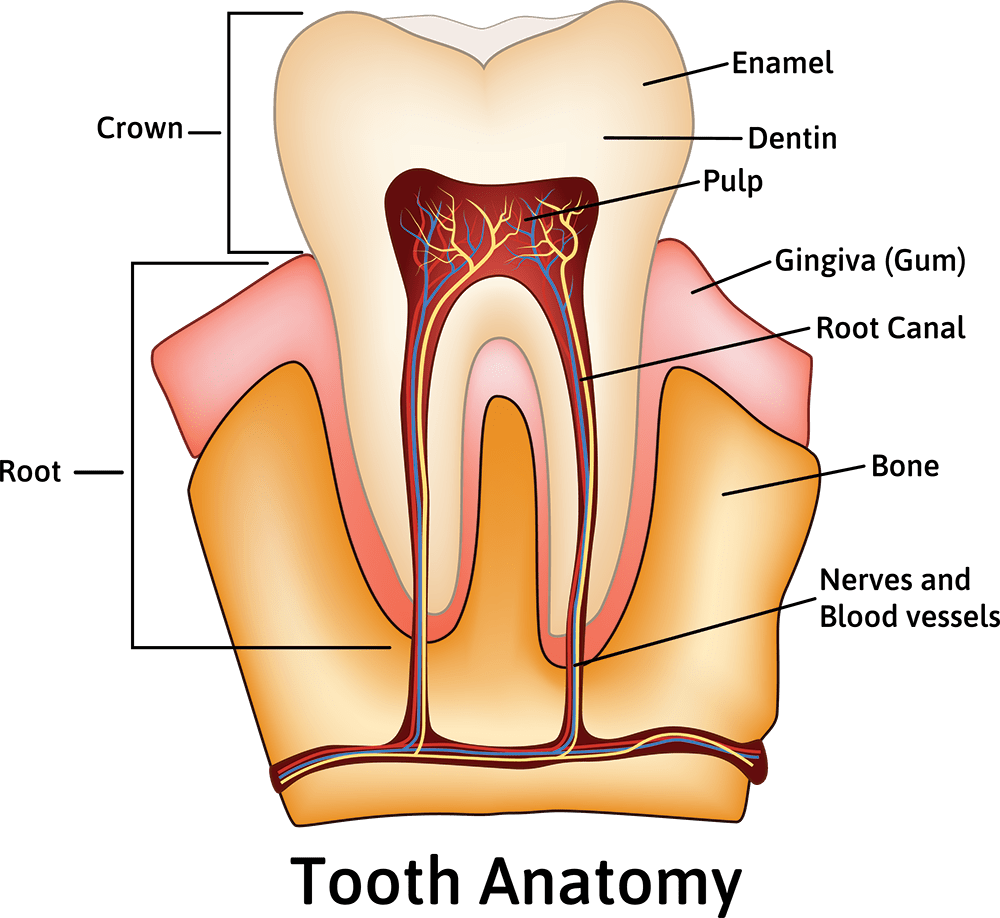 hight resolution of about your tooth