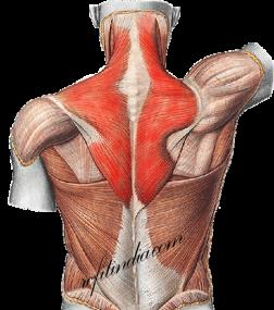 Upper Back Anatomy - Trapezius