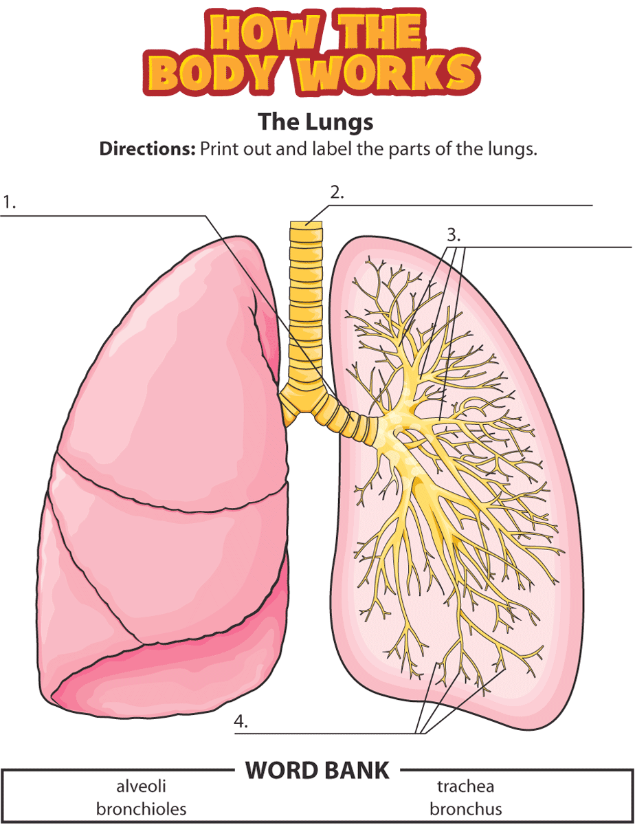 label heart diagram worksheet answers what does a climate summarize activity: the lungs