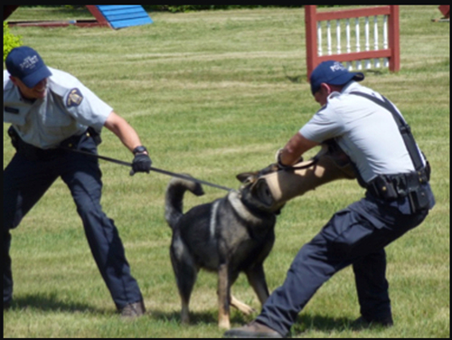Photograph of RCMP members training their Police Service Dog to apprehend a suspect (Source of photo - Ric Hall's Photo Collection).