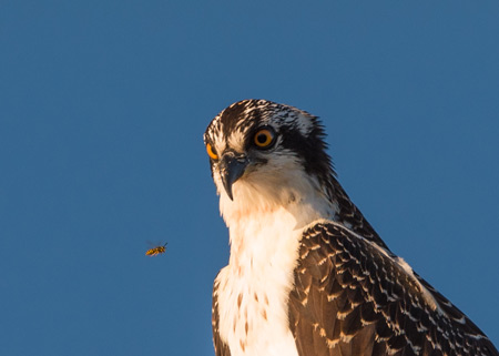 Photograph of an Osprey closely watching a yellow jacket - taken by Harold Feiertag at Mohone Bay, Nova Scotia.