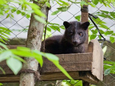 5. Kopi Luwak, the world's most expensive coffee (up to $600 per pound) is: