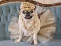Photos of Pugs in Costumes | Reader's Digest