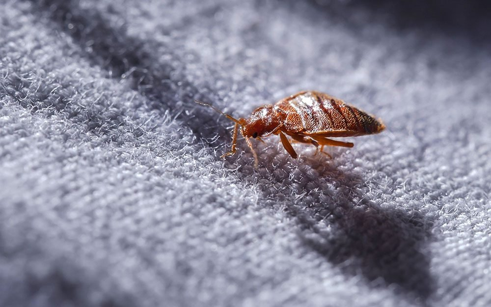 How Do You Know if You Have Bedbugs  Readers Digest