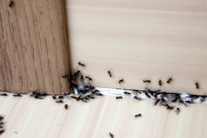 How To Get Rid Of Ants Complete Guide To Diy Natural Ant Treatments Pavement