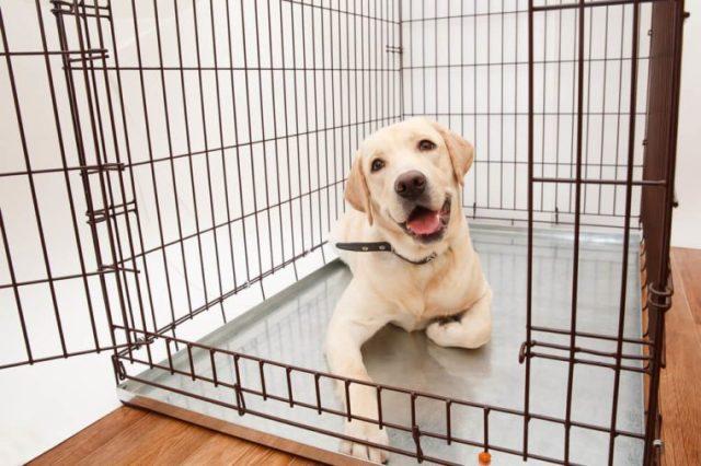 Cão na gaiola. Fundo isolado. Feliz Labrador está em uma caixa de ferro