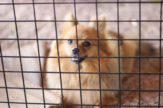 Os cães da Pomerânia estão presos numa gaiola expressando a saudade pela liberdade. Não se concentre