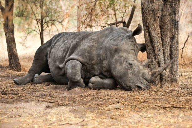Rhino sleeping in the savannah