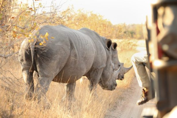 Close up of two White Rhino in a private game reserve in South Africa