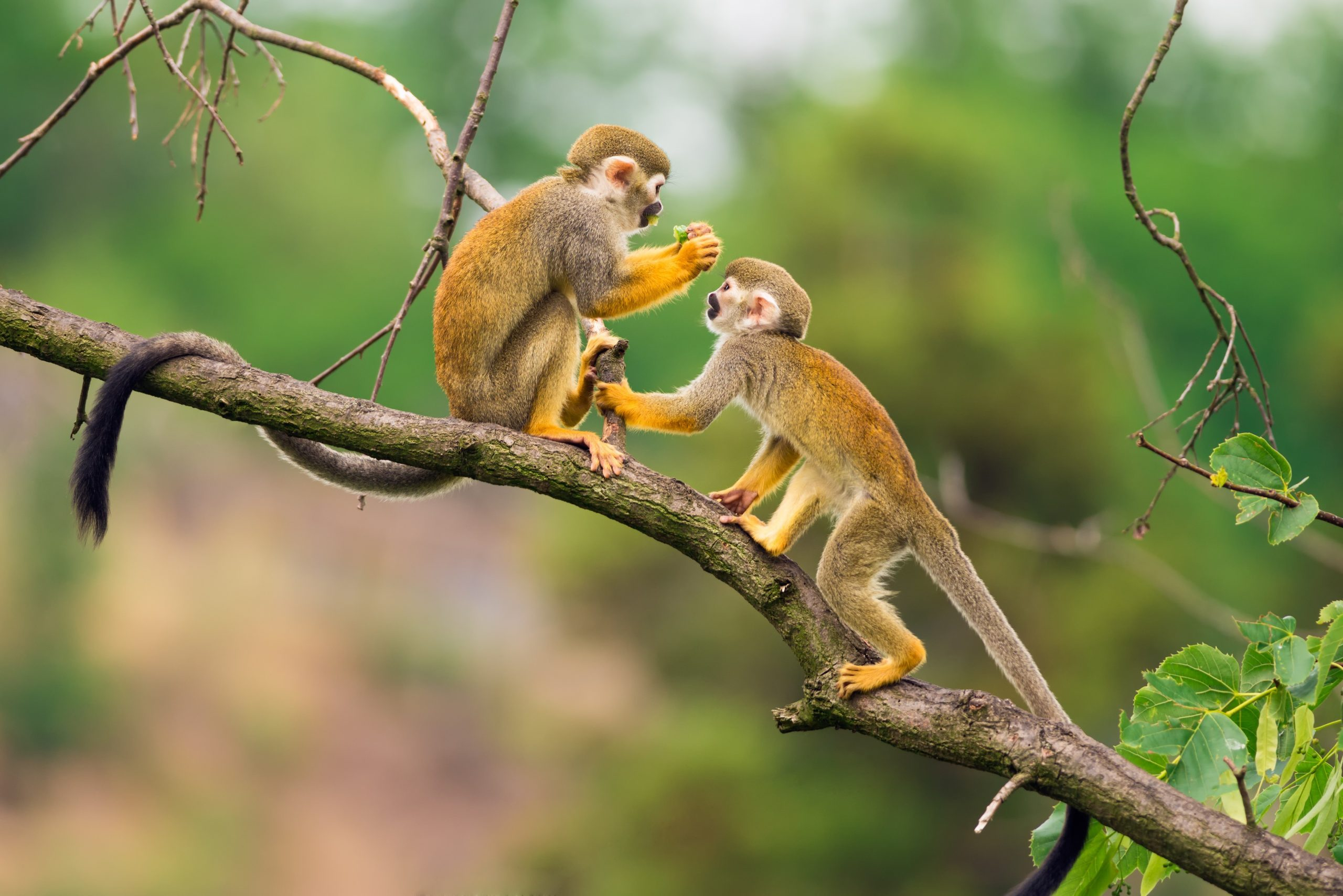 The vervet monkey is an old world classification. How Many Types Of Monkeys Are There In The World Reader S Digest