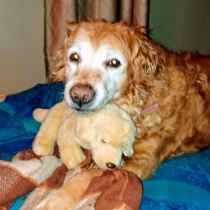 golden retriever sitting with golden retriever toy on a bed