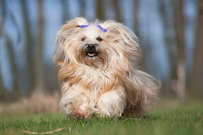 Yellow Havanese with two purple hair clips on ears running on grass