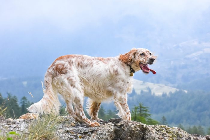 Purebred female English Setter with tongue sticking out and standing on a mountain rock in front of a valley