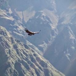 A magificent Andean condor