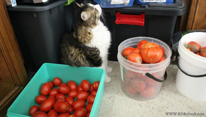 Kittie in the tomatoes