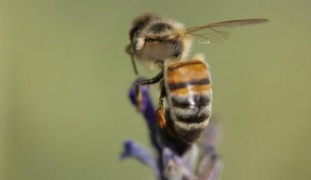 Se as abelhas desaparecerem...