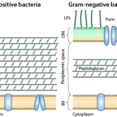 Bacteria Structure Diagram Fmea Boundary Example Understand React Schematic Image Of Gram Positive Surrounded By A Plasma Membrane And Thick Mesh