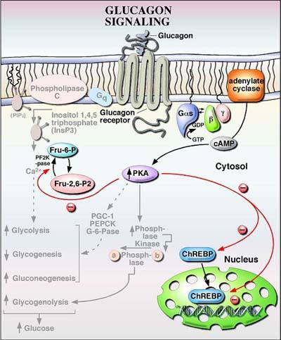 Glucagon1