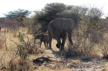 Elefantenkühe sind sehr wachsame Mütter