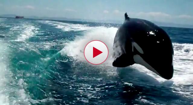 Killer Whales Chase Speedboat