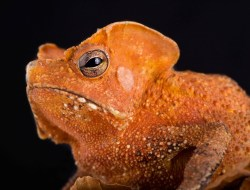 Красивая жаба Rhinella lescurei. (Фото Matthijs Kuijpers)