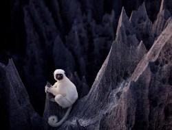 """Белоснежный лемур в """"Каменном лесу"""" на Мадагаскаре"""