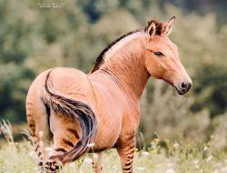 Зеброид или уникальная зебро-лошадь