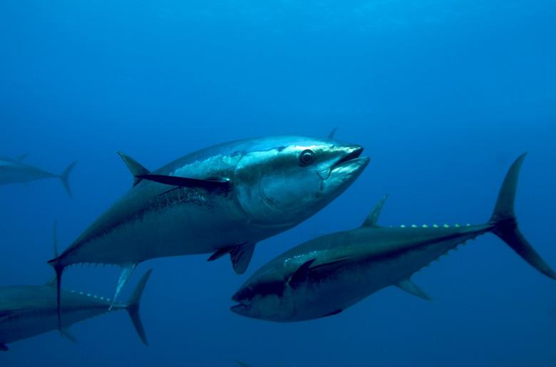 В Японии продали синего тунца за 1,8 млн долларов