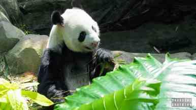 Panda w River Safari, Zoo Singapur
