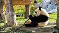 Pandy w Madrycie - Hiszpania