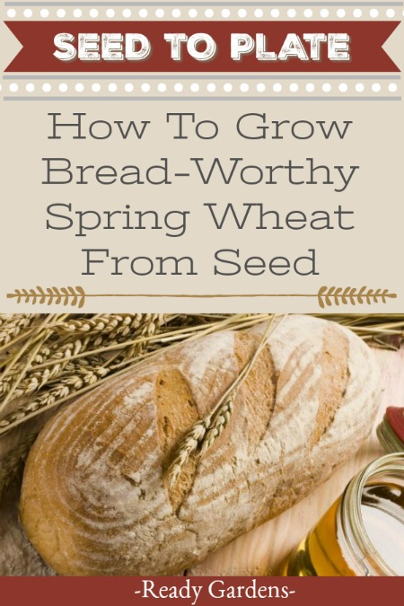 """Wheat is one of those staples that's been getting a bad rep lately. With the current diet trends leaning toward eating carbohydrates, wheat and bread aren't on the radar of many gardeners. But there are some benefits to growing it, especially if you select the """"hard red spring wheat."""" #ReadyGardens #Gardening #NoGMO #GardenGuides #GrowYourOwn"""