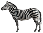 Zebra, part of the animals alphabet