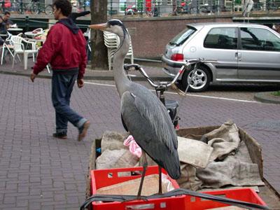 Grey heron in Amsterdam