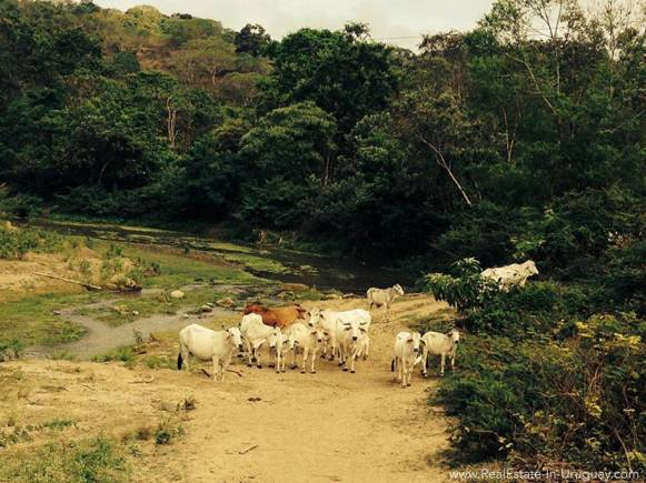 River Cows Manabi Coast, Ecuador