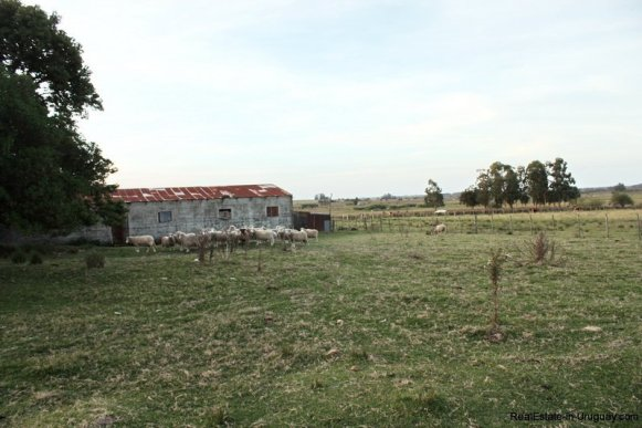 5603-Sheep-on-Agro-Field-San-Jacinto-near-Montevideo