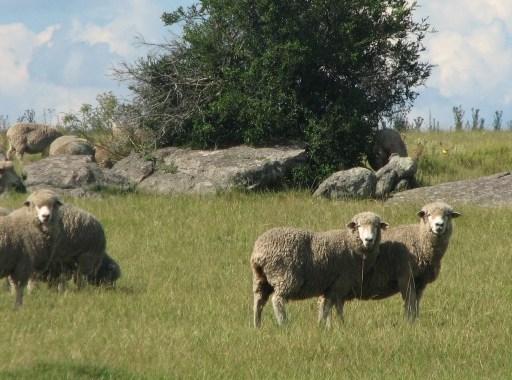 Wool in Uruguay