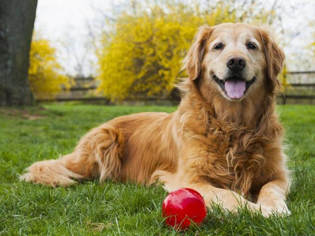 Senior Golden Retriever met bal
