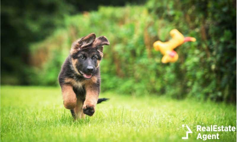 Happy German Shepherd puppy