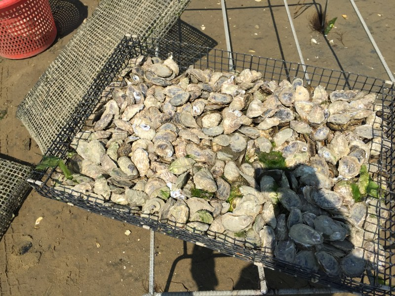 Oyster farming in containment, bushel, cage, aquaculture