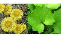 coltsfoot-2