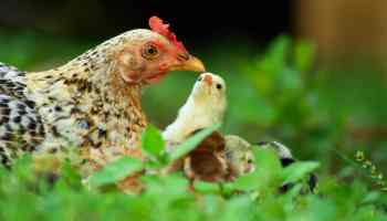 Raising Meat Chickens: 5 Things I Learned the Hard Way