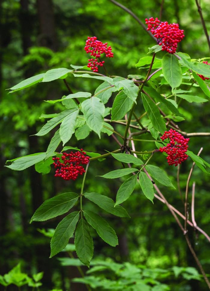 Pacific Northwest Native Plant Profile Pacific Red Elderberry
