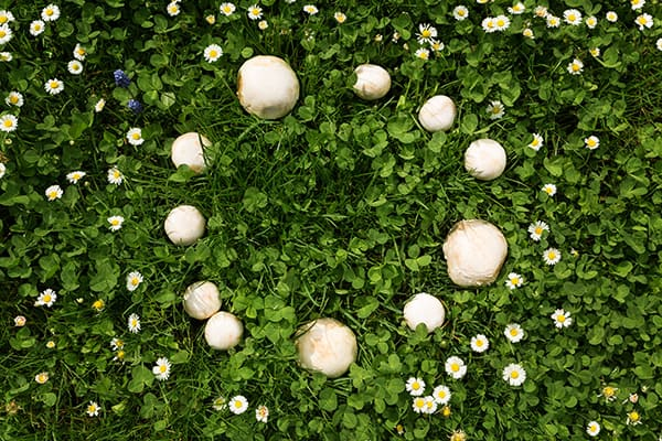 fairy ring in the yard