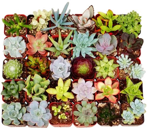 Collection of 20 Potted 2-inch Unique Succulents