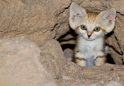 Curious Sand Cat Kitten