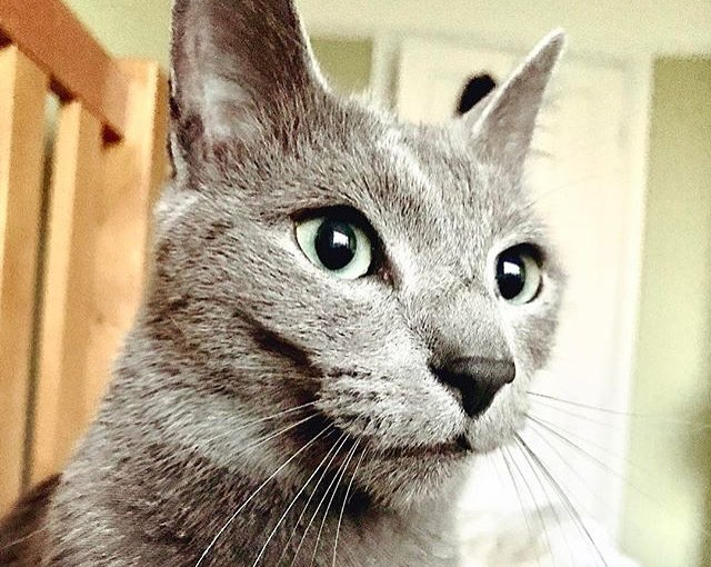 My Caturday Crush this week is @otistherussianbluecat! He looks just like me!! Want to be featured next week? Tag