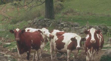 cow energy